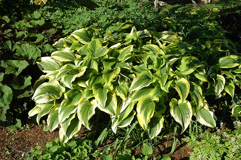 Gold Variegated Mountain Hosta Hosta Montana Aureomarginata In