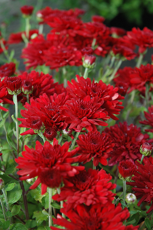 Five Alarm Red Chrysanthemum Chrysanthemum Five Alarm