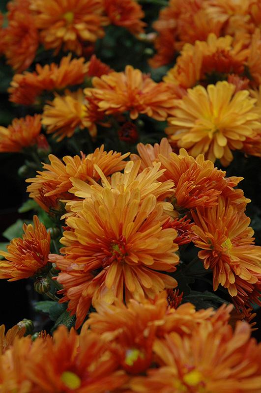petit orange chrysanthemum  chrysanthemum  u0026 39 petit orange