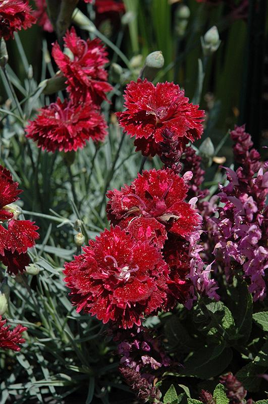 Hybrid Pink Pomegranate Kiss Dianthus X Hybrida