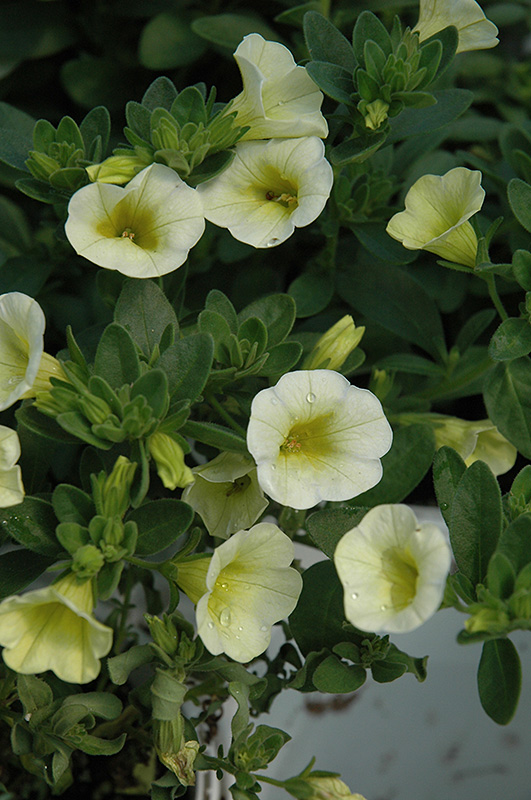 Superbells yellow chiffon calibrachoa calibrachoa - Calibrachoa superbells ...