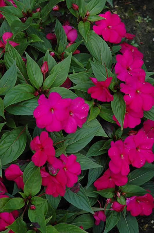 Divine violet new guinea impatiens impatiens hawkeri for New guinea impatiens