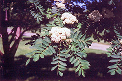 Showy Mountain Ash (Sorbus decora) at Sargent's Gardens
