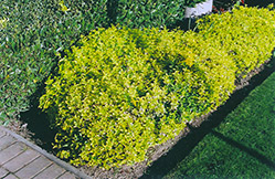 Gold Prince Wintercreeper (Euonymus fortunei 'Gold Prince') at Sargent's Gardens