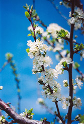Mount Royal Plum (Prunus 'Mount Royal') at Sargent's Gardens