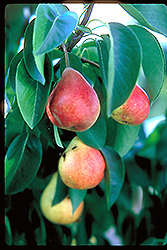 Summercrisp Pear (Pyrus 'Summercrisp') at Sargent's Gardens