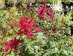 Glow Astilbe (Astilbe x arendsii 'Glow') at Sargent's Gardens