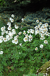 Windflower (Anemone sylvestris) at Sargent's Gardens