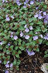 Waterperry Blue Speedwell (Veronica 'Waterperry Blue') at Sargent's Gardens