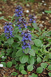 Caitlin's Giant Bugleweed (Ajuga reptans 'Caitlin's Giant') at Sargent's Gardens