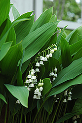 Lily-Of-The-Valley (Convallaria majalis) at Sargent's Gardens