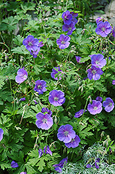 Johnson's Blue Cranesbill (Geranium 'Johnson's Blue') at Sargent's Gardens