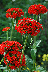 Maltese Cross (Lychnis chalcedonica) at Sargent's Gardens