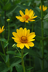 False Sunflower (Heliopsis helianthoides) at Sargent's Gardens
