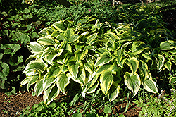 Gold-Variegated Mountain Hosta (Hosta montana 'Aureomarginata') at Sargent's Gardens