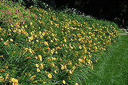 Happy Ever Appster® Happy Returns Daylily (Hemerocallis 'Happy Returns') at Sargent's Gardens