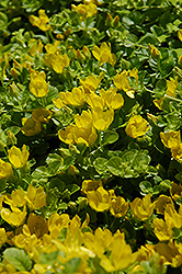 Creeping Jenny (Lysimachia nummularia) at Sargent's Gardens