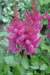 Visions Astilbe (Astilbe chinensis 'Visions') at Sargent's Gardens