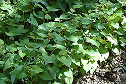 Chameleon Plant (Houttuynia cordata) at Sargent's Gardens