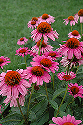 Ruby Star™ Coneflower (Echinacea purpurea 'Rubinstern') at Sargent's Gardens