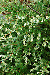 Moon Frost Hemlock (Tsuga canadensis 'Moon Frost') at Sargent's Gardens