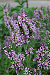 Betony (Stachys officinalis) at Sargent's Gardens
