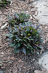 Chocolate Chip Bugleweed (Ajuga reptans 'Chocolate Chip') at Sargent's Gardens