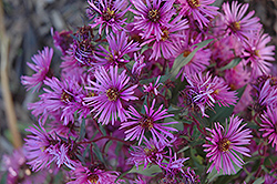Woods Pink Aster (Aster 'Woods Pink') at Sargent's Gardens