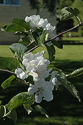 Macintosh Apple (Malus 'Macintosh') at Sargent's Gardens