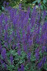 May Night Sage (Salvia x sylvestris 'May Night') at Sargent's Gardens