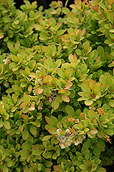 Sunsation Japanese Barberry (Berberis thunbergii 'Sunsation') at Sargent's Gardens