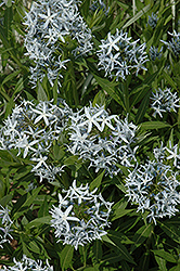 Blue Star Flower (Amsonia tabernaemontana) at Sargent's Gardens