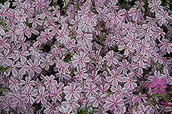 Candy Stripe Moss Phlox (Phlox subulata 'Candy Stripe') at Sargent's Gardens