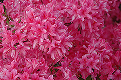 Rosy Lights Azalea (Rhododendron 'Rosy Lights') at Sargent's Gardens