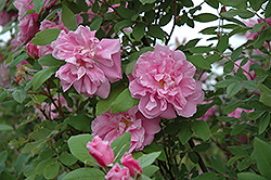 Therese Bugnet Rose (Rosa 'Therese Bugnet') at Sargent's Gardens