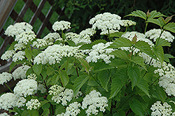 Blue Muffin® Viburnum (Viburnum dentatum 'Christom') at Sargent's Gardens
