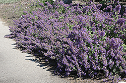 Walker's Low Catmint (Nepeta x faassenii 'Walker's Low') at Sargent's Gardens