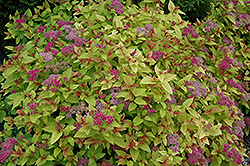 Magic Carpet Spirea (Spiraea x bumalda 'Magic Carpet') at Sargent's Gardens