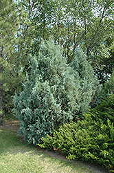Wichita Blue Juniper (Juniperus scopulorum 'Wichita Blue') at Sargent's Gardens
