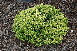 Golden Nugget Japanese Barberry (Berberis thunbergii 'Golden Nugget') at Sargent's Gardens