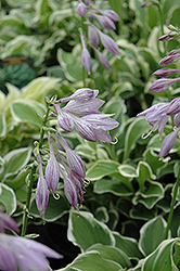 Diamond Tiara Hosta (Hosta 'Diamond Tiara') at Sargent's Gardens
