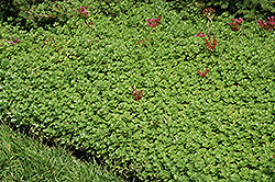 John Creech Stonecrop (Sedum spurium 'John Creech') at Sargent's Gardens