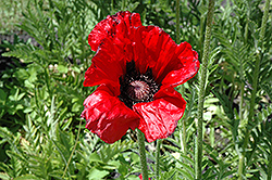 Beauty of Livermere Poppy (Papaver orientale 'Beauty of Livermere') at Sargent's Gardens