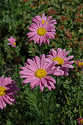 Robinson's Pink Painted Daisy (Tanacetum coccineum 'Robinson's Pink') at Sargent's Gardens