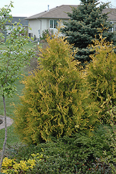 Yellow Ribbon Arborvitae (Thuja occidentalis 'Yellow Ribbon') at Sargent's Gardens