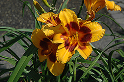 Black Eyed Susan Daylily (Hemerocallis 'Black Eyed Susan') at Sargent's Gardens