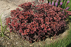 Purple Emperor Stonecrop (Sedum 'Purple Emperor') at Sargent's Gardens