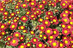 Red Daisy Chrysanthemum (Chrysanthemum 'Red Daisy') at Sargent's Gardens