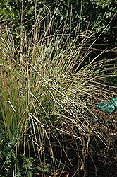 Blue Arrows Rush (Juncus inflexus 'Blue Arrows') at Sargent's Gardens