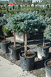 Globe Blue Spruce (tree form) (Picea pungens 'Globosa (tree form)') at Sargent's Gardens